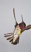 Flight Art - Male Annas Hummingbird by Gregory Scott