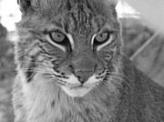 Bobcats Framed Prints - Male Bobcat - Black and White Framed Print by Jennifer  King