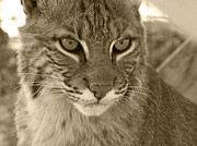 Bobcats Posters - Male Bobcat - Sepia Poster by Jennifer  King