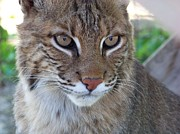 Bobcats Framed Prints - Male Bobcat1 Framed Print by Jennifer  King