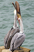 Male Brown Pelican Neck Exercise Print by Darleen Stry