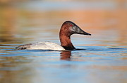 Ruth Jolly - Male Canvasback