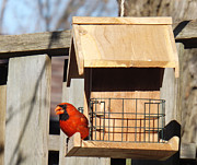 Gray And Black Beak Posters - Male Cardinal Eating Poster by Brenda Brown