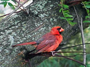 Wings Photos - Male Cardinal by Gena Weiser