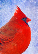 Greetingcard Framed Prints - Male Cardinal in snow - Digital Paint effect Framed Print by Debbie Portwood