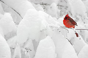 Red Bird In Snow Prints - Male Cardinal in Snowstorm Print by Gary Cain
