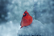 Red Bird In Snow Prints - Male Cardinal in the Snow Print by Sandy Keeton