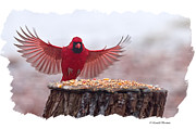 Male Framed Prints Photos - Male cardinal Landing  by Randall Branham