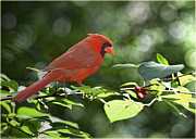 Photomanipulation Photo Prints - Male Cardinal on Dogwood Branch - Digital Paint Effect Print by Debbie Portwood