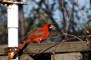 Gray And Black Beak Posters - Male Cardinal on Fence Poster by Brenda Brown