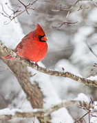 North Carolina Birds Prints - Male Cardinal on Snowy Branch Print by Rob Travis