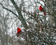 Flurries Posters - Male Cardinal Pair Poster by Karen Adams