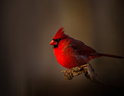 Randall Branham - Male Cardinal subdued Forest Background