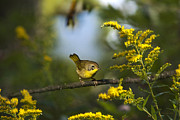 Warbler Posters - Male Common Yellowthroat Warbler Poster by Christina Rollo