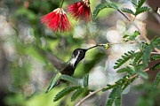 Michael Moriarty - Male Costa Hummingbird...