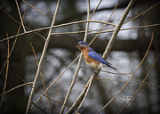Cris Hayes Art - Male Eastern Bluebird by Cris Hayes