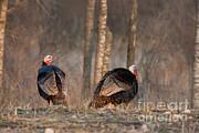 Male Eastern Wild Turkeys Print by Linda Freshwaters Arndt