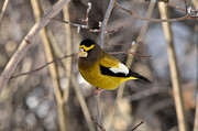David Porteus - Male Evening Grosbeak
