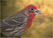 Debbie Portwood Prints - Male finch with seed Print by Debbie Portwood