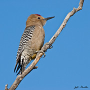 Jeff Goulden - Male Gila Woodpecker