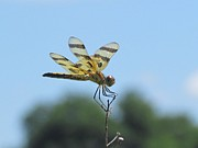 Dragonflies Originals - Male halloween pennant by Eric Noa