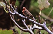 Craig Wood - Male House Finch