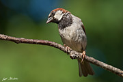 Jeff Goulden - Male House Sparrow...