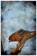 Photomanipulation Photo Prints - Male Housefinch grung frame Print by Debbie Portwood