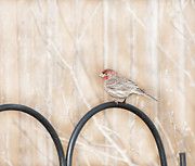 Kathy Rinker - Male Housefinch