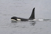 Shoal Hollingsworth - Male Killer Whale
