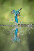 Survival Prints - Male Kingfisher Print by Andy Astbury