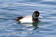 Male Lesser Scaup Print by Shoal Hollingsworth