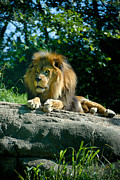 Pittsburgh Zoo Framed Prints - Male Lion Framed Print by Amy Cicconi