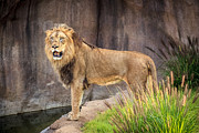 Keith Allen - Male Lion