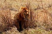 Animal Portrait Prints Prints - Male Lion - Ngorongoro Crater Print by Aidan Moran