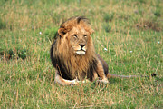 Animals Tapestries Textiles - Male Lion On The Masai Mara by Aidan Moran