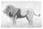 Featured Drawings - Male Lion by Stuart Fowle