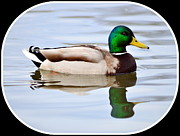 Don Herd - Male Mallard #1