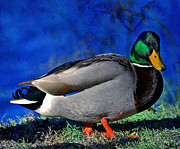 Sayre Framed Prints - Male Mallard Duck Framed Print by David Simons