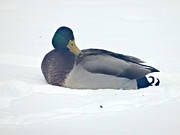 Kathleen Luther - Male Mallard in the Snow