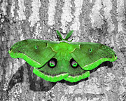 Silk Digital Art Framed Prints - Male Moth Green Framed Print by Al Powell Photography USA