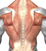 Human Body Parts Posters - Male Muscle Anatomy Of The Human Back Poster by Stocktrek Images