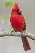 Male Northern Cardinal Posters - Male Northern Cardinal in January Poster by Bonnie Barry