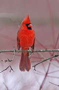 Jim Nelson Framed Prints - Male Northern Cardinal Framed Print by Jim Nelson
