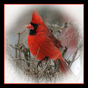John Kunze - Male Northern Cardinal