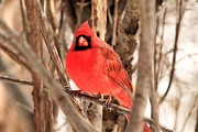 Cardinals. Wildlife. Nature. Photography Posters - Male Northern Cardinal Poster by Michael Allen