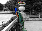 Central Illinois Posters - Male Peacock Bird Selective Coloring Poster by Thomas Woolworth