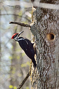 David Porteus - Male Pileated Woodpecker