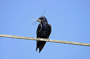 Male Framed Prints Photos - Male Purple Martin with Dragonfly by Jlt Photography