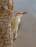 Pecking Prints - Male Redbellied Woodpecker 1 Print by Lara Ellis